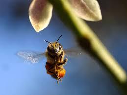 Bees: Predator to Pollinator